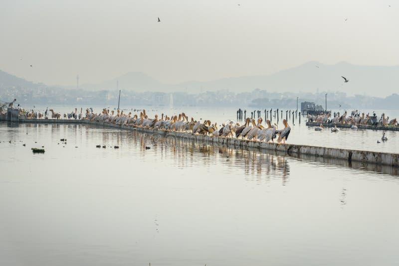 Migratory Pelican Birds on Lake Anasagar in Ajmer. India. Migratory Pelican Birds on Lake Anasagar in Ajmer. Rajasthan. India stock image