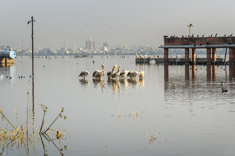 Migratory Pelican Birds on Lake Anasagar in Ajmer. India. Migratory Pelican Birds on Lake Anasagar in Ajmer. Rajasthan. India stock photography