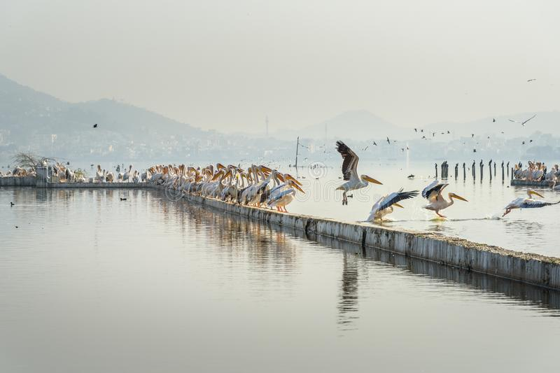 Migratory Pelican Birds on Lake Anasagar in Ajmer. India. Migratory Pelican Birds on Lake Anasagar in Ajmer. Rajasthan. India royalty free stock photography