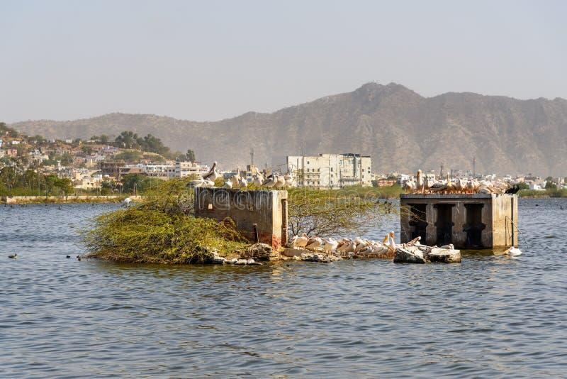 Migratory Pelican birds on Lake Anasagar in Ajmer. India. Migratory Pelican birds on Lake Anasagar in Ajmer. Rajasthan. India stock images