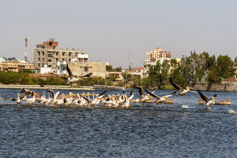Migratory Pelican birds on Lake Anasagar in Ajmer. India. Migratory Pelican birds on Lake Anasagar in Ajmer. Rajasthan. India stock photos