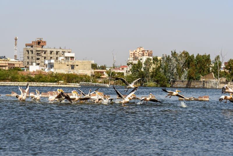 Migratory Pelican birds on Lake Anasagar in Ajmer. India. Migratory Pelican birds on Lake Anasagar in Ajmer. Rajasthan. India royalty free stock photos