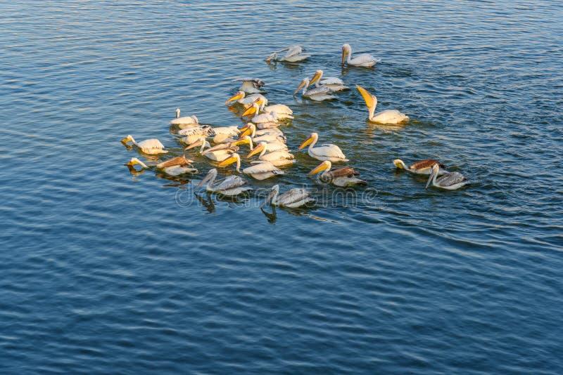 Migratory Pelican Birds in Pushkar lake. Rajasthan. India. Migratory Pelican Birds in Pushkar holy lake. Rajasthan. India royalty free stock photography