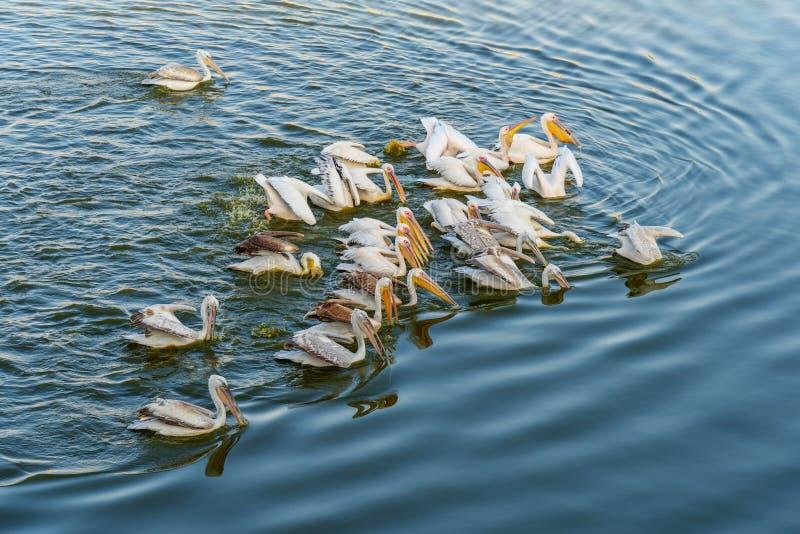 Migratory Pelican Birds in Pushkar lake. Rajasthan. India. Migratory Pelican Birds in Pushkar holy lake. Rajasthan. India stock photos
