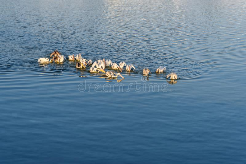 Migratory Pelican Birds in Pushkar lake. Rajasthan. India. Migratory Pelican Birds in Pushkar holy lake. Rajasthan. India stock photography