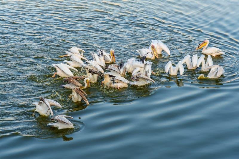 Migratory Pelican Birds in Pushkar lake. Rajasthan. India. Migratory Pelican Birds in Pushkar holy lake. Rajasthan. India royalty free stock image