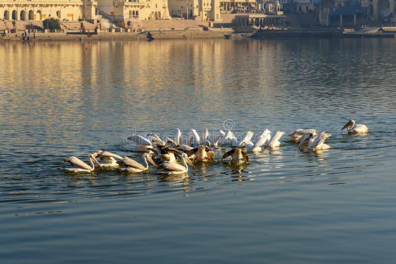 Migratory Pelican Birds in Pushkar lake. Rajasthan. India. Migratory Pelican Birds in Pushkar holy lake. Rajasthan. India royalty free stock images