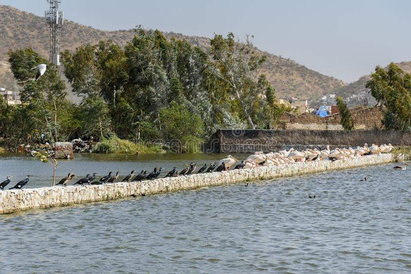 Migratory Pelican and Cormorants birds on Lake Anasagar in Ajmer. India. Migratory Pelican and Cormorants birds on Lake Anasagar in Ajmer. Rajasthan. India stock images