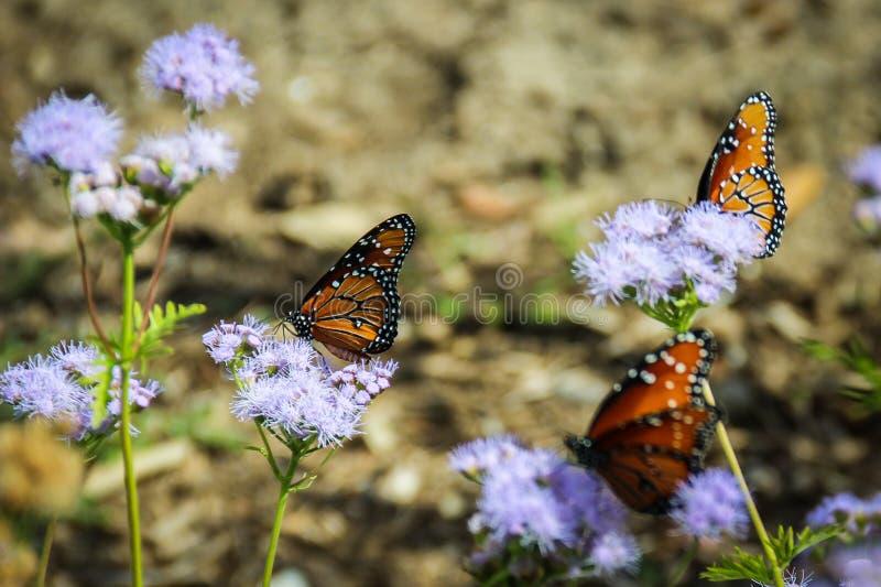 Migrazione delle farfalle di monarca fotografia stock libera da diritti