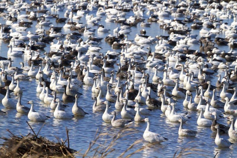 Migrazione di caduta delle oche polari fotografia stock libera da diritti