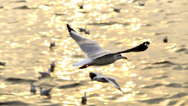 Migreer zeemeeuw in sunsets royalty-vrije stock fotografie