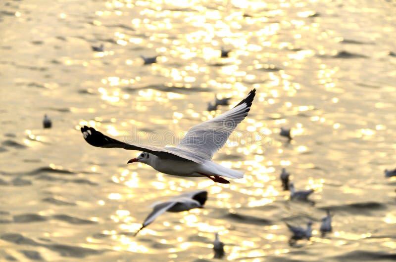 Migreer zeemeeuw in sunsets royalty-vrije stock afbeelding