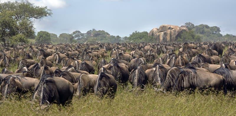 Migreren het meest wildebeest royalty-vrije stock fotografie