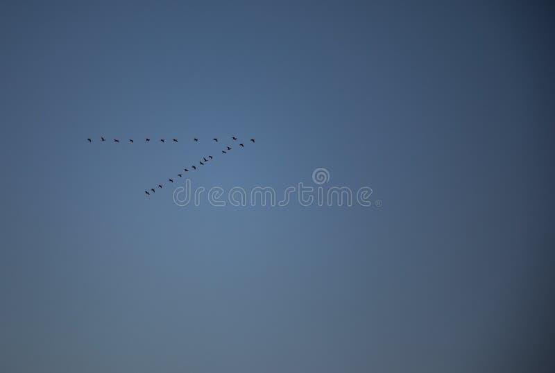 Migrerende vliegende eenden in v-vorm met blauwe hemel royalty-vrije stock fotografie