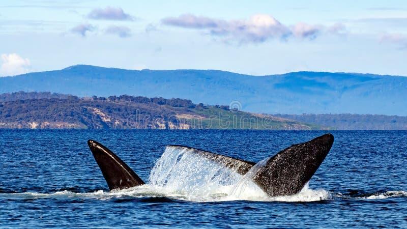 Migrerende zuidelijke juiste walvissen stock afbeeldingen