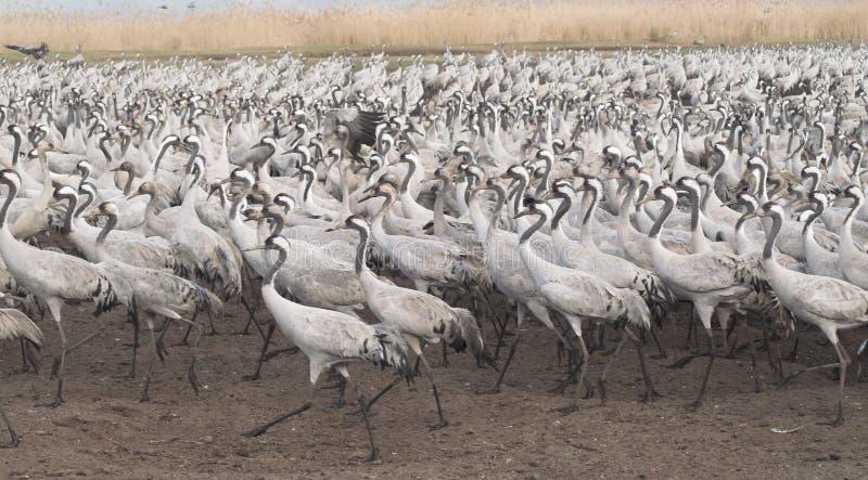 Migri degli uccelli fotografie stock