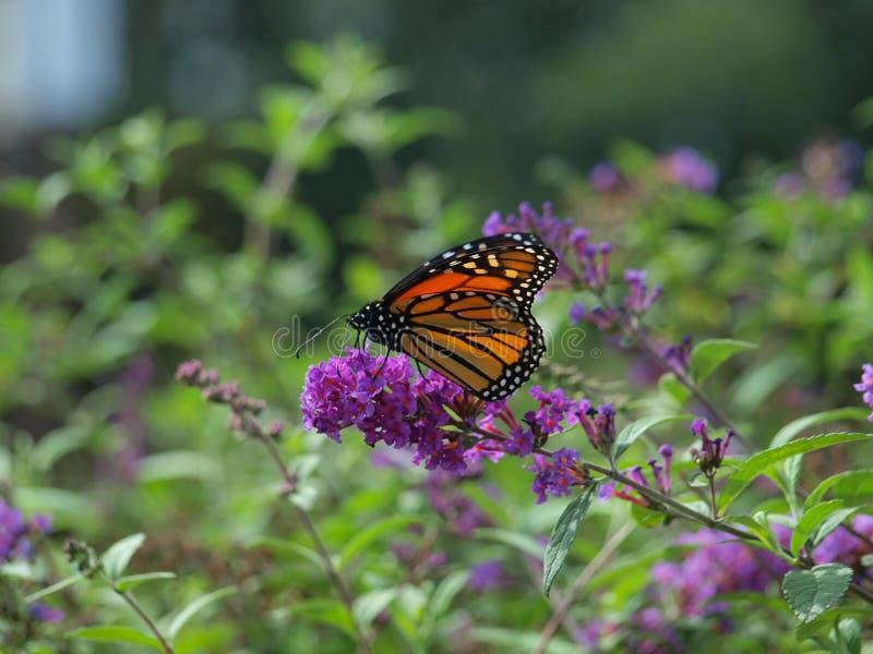 Migrowanie monarcha Jest Jeden Pierwszy Przyjeżdżający Ten sezon zdjęcia royalty free