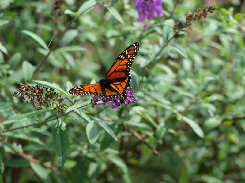 Migrowanie monarcha Jest Jeden Pierwszy Przyjeżdżający Ten sezon obraz stock