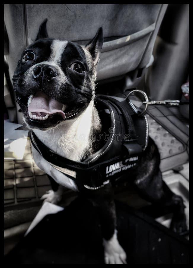 Mijn Boston Terrier royalty-vrije stock foto