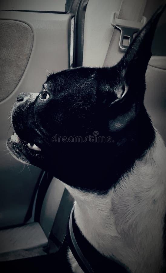 Mijn Boston Terrier stock foto's