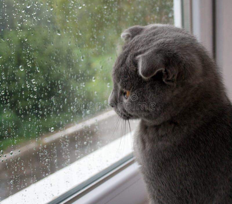 mijn kat houdt van de regen Schotse vouwen royalty-vrije stock foto's
