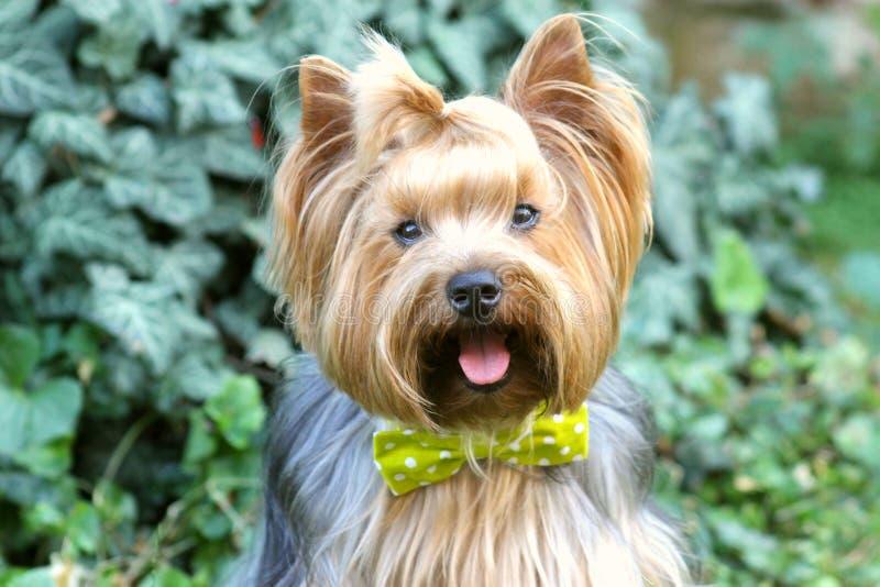 Mijn kleine hond, de terriër van Yorkshire royalty-vrije stock foto's