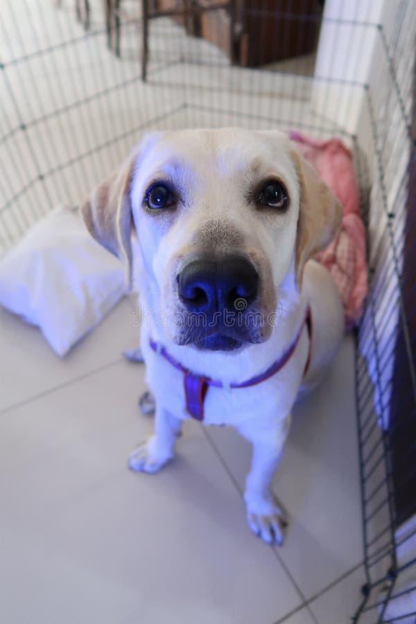 Mijn 9 maanden Labrador royalty-vrije stock foto's