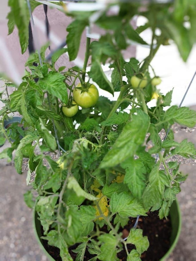 Mijn Tomaten 2014 royalty-vrije stock foto's