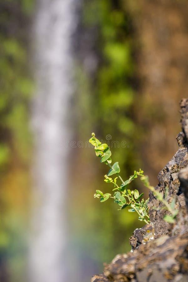 Mijnwerkers\ 's sla het groeien op de muren van een ravijn; waterval op de achtergrond, de Berg Ecologische Reserve van de het No royalty-vrije stock afbeeldingen