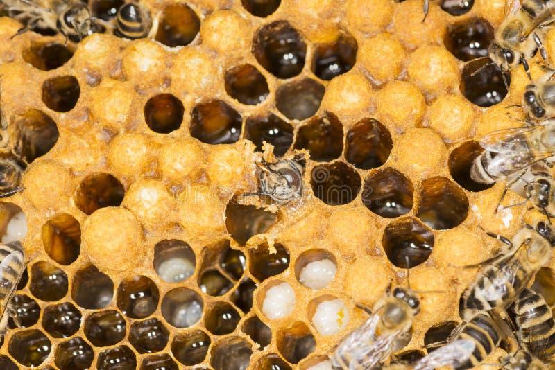Mijt in een bijenkorf royalty-vrije stock foto's