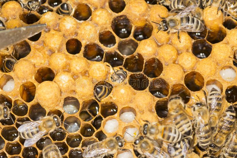 Mijt in een mijt van het bijenkorf Kwaadwillige insect in een bijenbijenkorf stock foto