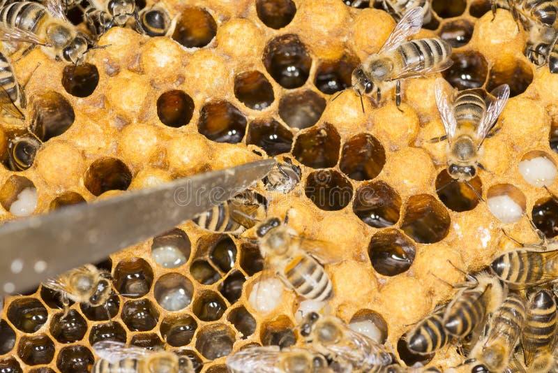 Mijt in een mijt van het bijenkorf Kwaadwillige insect in een bijenbijenkorf royalty-vrije stock foto's