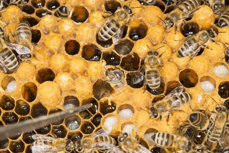 Mijt in een mijt van het bijenkorf Kwaadwillige insect in een bijenbijenkorf stock afbeelding