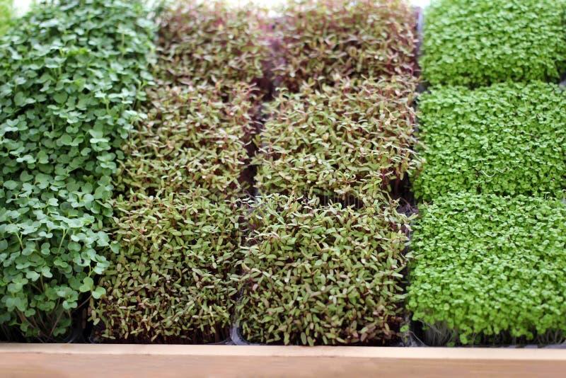 Mikro zieleń kiełkuje warzywa dla zdrowego jedzenia fotografia stock