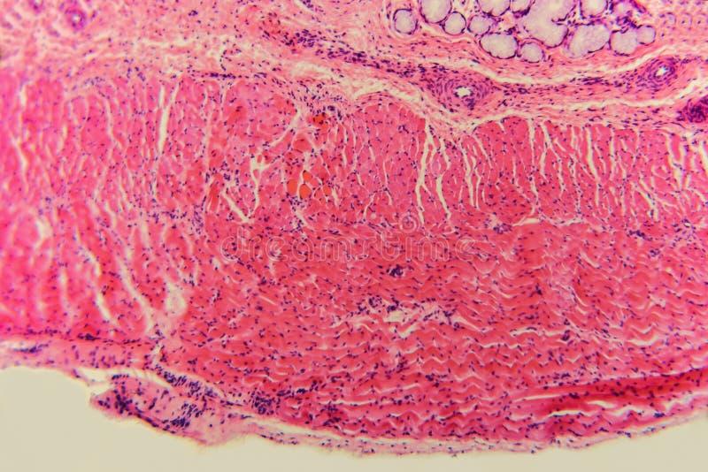 Mikrobiologiezellösophagushund stockfotos