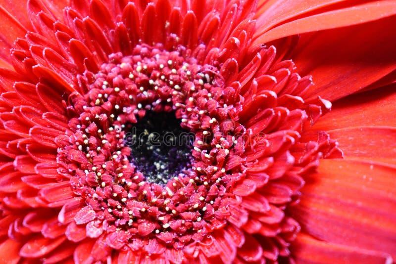 MikroCloseup av den härliga och nya röda blomman arkivfoton