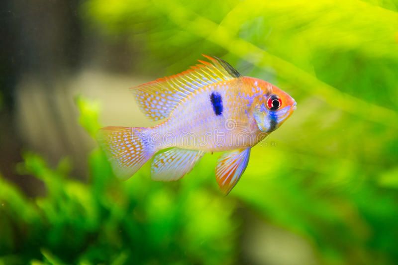 Mikrogeophagus ramirezi, ram cichlid,male royalty free stock photography