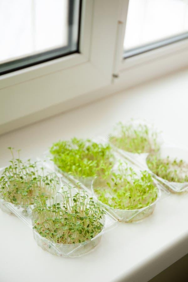 Mikrogräsplaner rädisa och grönsallat på fönsterbrädan royaltyfria bilder