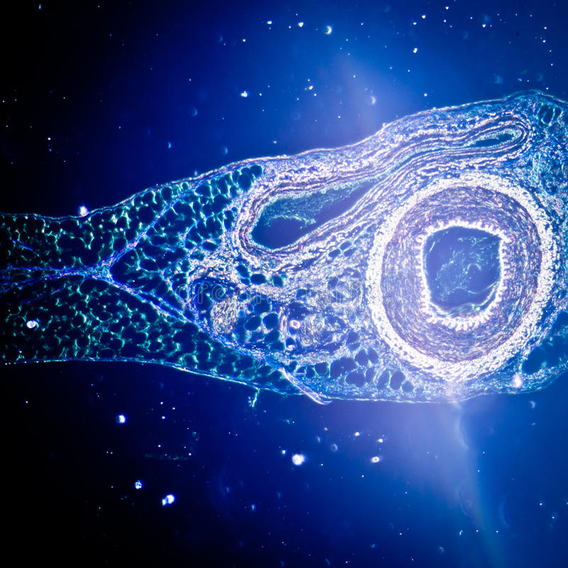 Mikrograph des Blutgefäßes, Arterie stockbilder