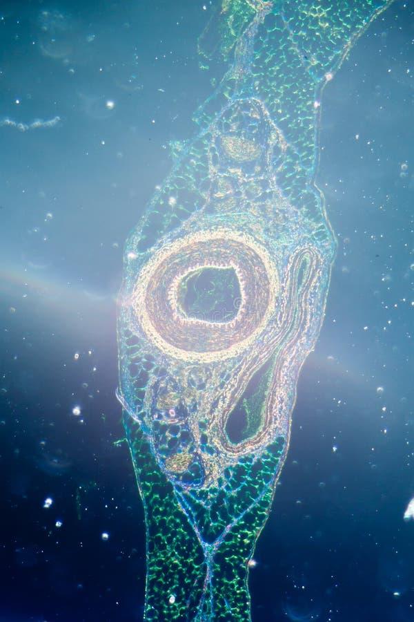 Mikrograph des Blutgefäßes, Arterie lizenzfreie stockfotos