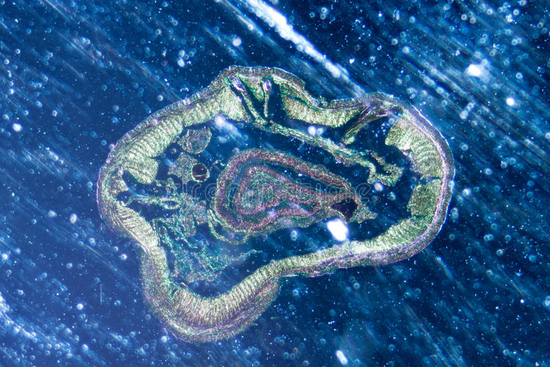 Mikrographregenwurmes crosscutting lizenzfreie stockfotografie