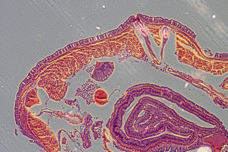 Mikrographregenwurmes crosscutting lizenzfreies stockbild