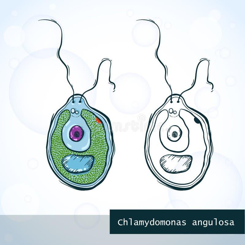 Mikroorganismus-Chlamydomonas in der Skizzenart, Struktur vektor abbildung