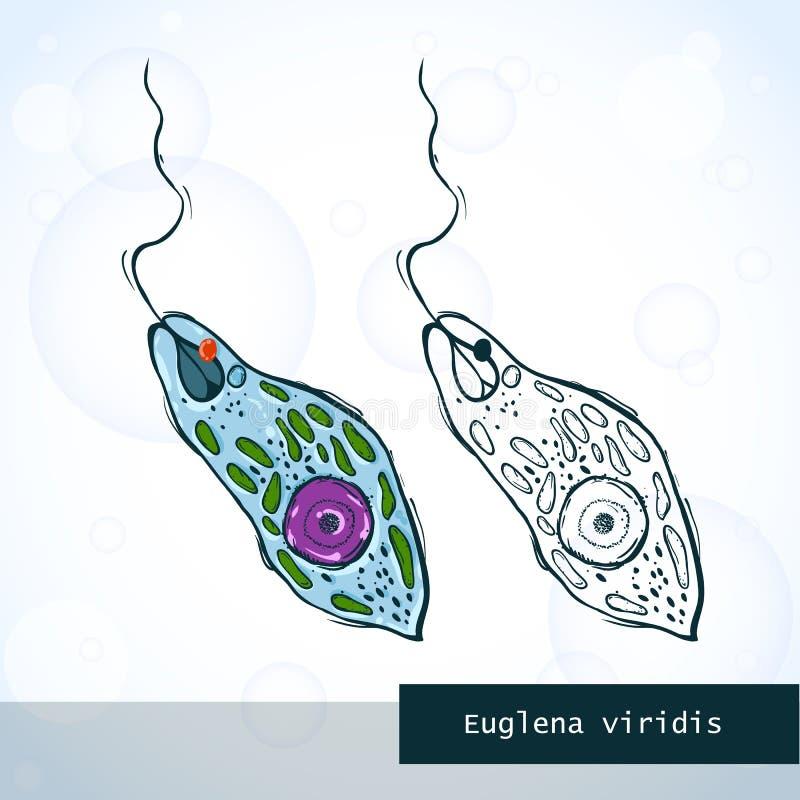 Mikroorganismus-Euglen in der Skizzenart, Struktur stock abbildung