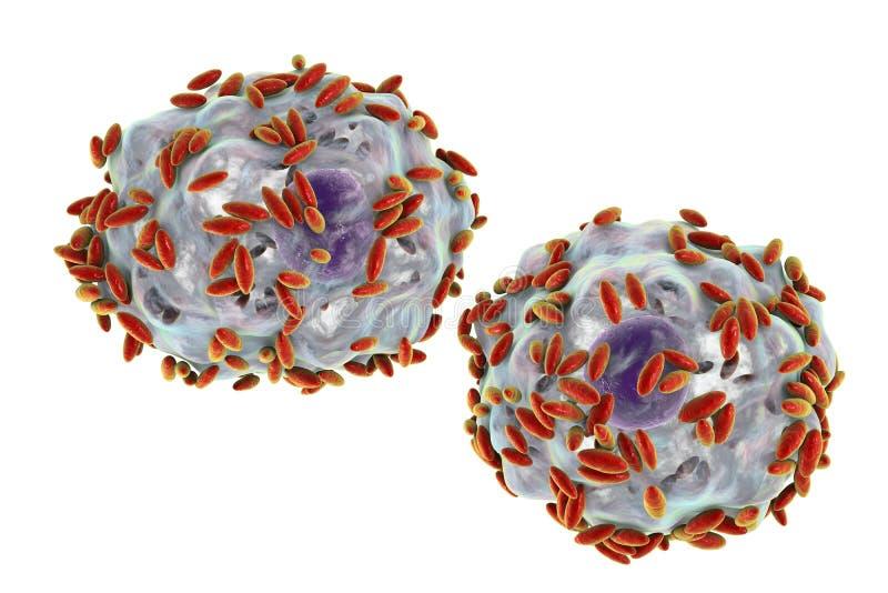 Mikroskopijna diagnoza bakteryjny vaginosis Nabłonkowa komórka, dzwoniąca wskazówki komórka zakrywa z bakteriami Gardnerella royalty ilustracja