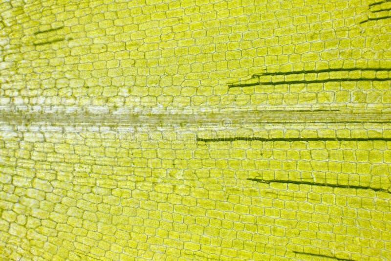 Mikroskopijny widok Kanadyjski waterweed Elodea canadensis liść obraz royalty free