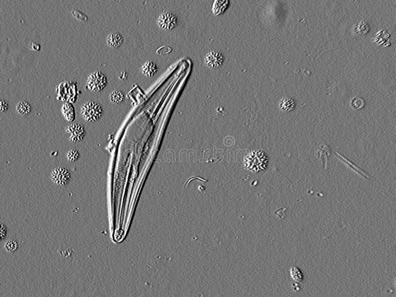 Mikroskopische Diatomee stockfoto