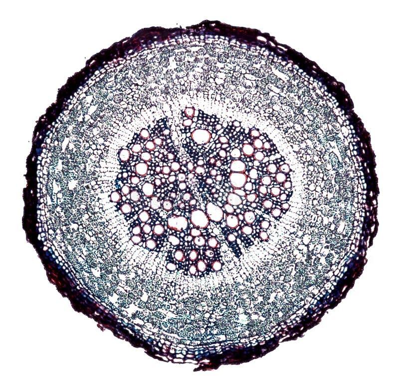 Mikroskopischer Querschnittschnitt eines Betriebsstammes unter dem Mikroskop lizenzfreie stockfotos