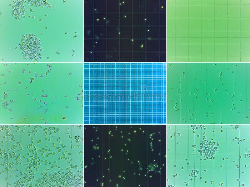 Mikroskopisk jästcollage arkivfoton