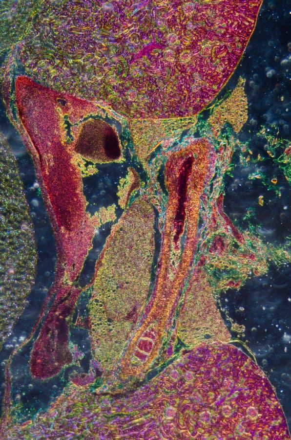 Mikroskopiskt avsnitt av den mänskliga njure arkivbilder